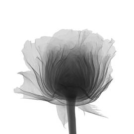 Rose by Nick Veasey