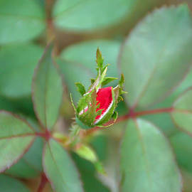 Aimee L Maher Photography and Art Visit ALMGallerydotcom - Rosebud