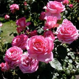 Rosebush in Christchurch by Barbie Corbett-Newmin