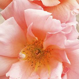 Regina Geoghan - Roses In the Pink