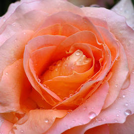 Juergen Roth - Rosy Rose