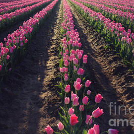 Rows Of Pink by Sylvia Cook