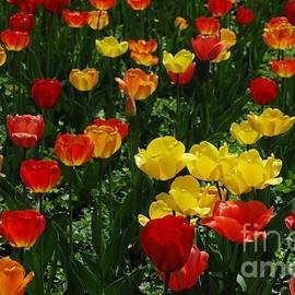 Kathleen Struckle - Rows Of Tulips