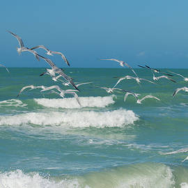 Royal Tern Frenzy by Kim Hojnacki