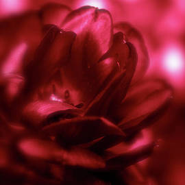 Ruby Red  Dahlia with Bokeh by Femina Photo Art By Maggie