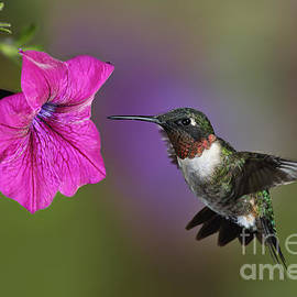 Ruby-throated Hummingbird - D004190