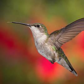 Dale Kincaid - Ruby Throated Hummingbird