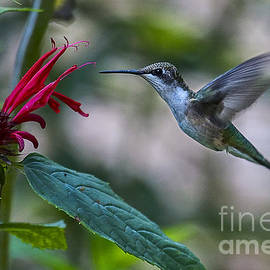 Ruby Throated Hummingbird by Ronald Lutz