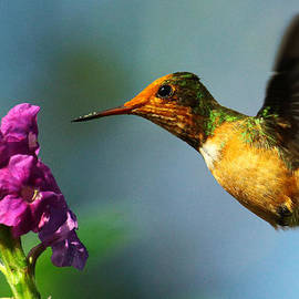 Ian Cuming - Rufous-crested Coquette