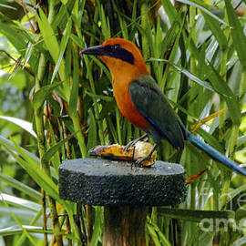 Rufous Motmot by Bob Phillips