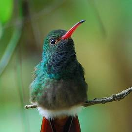 Rufous-tailed Hummingbird by Cascade Colors