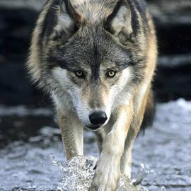 Chris Scroggins - Running Wolf