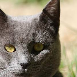 Sue Chisholm - Russian Blue