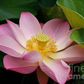 Byron Varvarigos - Sacred Lotus