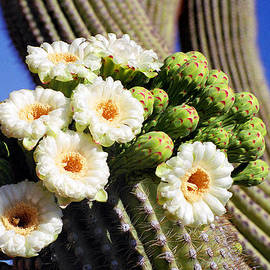 Saguaro Flowers And Buds by Douglas Taylor