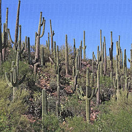 Tom Janca - Saguaro Forest At Sycamore Creek Arizona