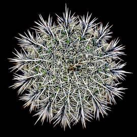 Saguaro Mandala by Douglas Taylor