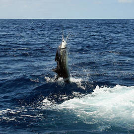 Sal's Sailfish by Bob Hislop