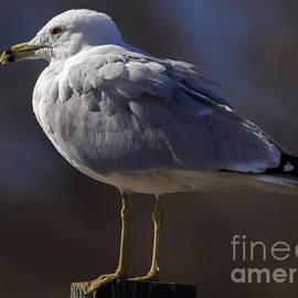 Sam Stoic Seagull by Mary Lou Chmura