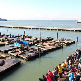 Wingsdomain Art and Photography - San Francisco Pier 39 Sea Lions 5D26109