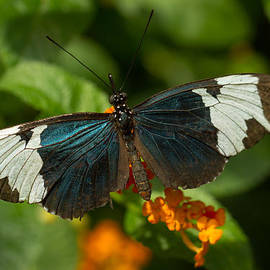 Sapho Longwing Butterfly by Doug McPherson