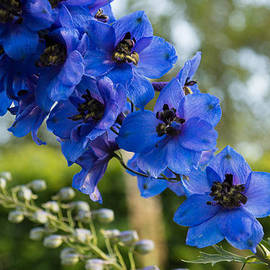 Georgia Mizuleva - Sapphire Blues and Pale Greens - a Showy Delphinium
