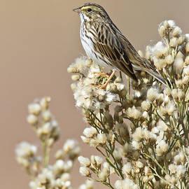Savannah Sparrow by Bryan Keil