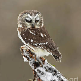 Inspired Nature Photography Fine Art Photography - Saw Whet Owl Sleeping in a Winter Forest