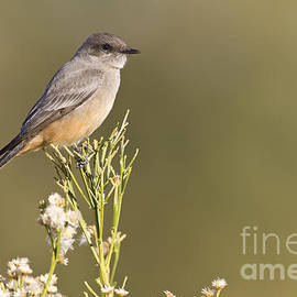 Say's phoebe  basking in the light by Bryan Keil