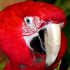 Scarlet Macaw by Bill Swartwout Photography