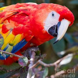 Cody Frazee - Scarlet Macaw