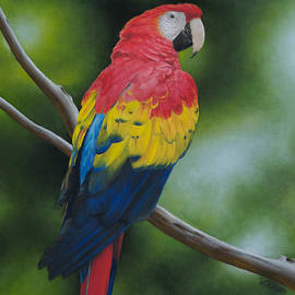 Victoria Oldham - Scarlet Macaw