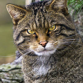 Scottish Wildcat by Marcia Colelli