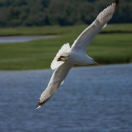 Seagull Banking to the Left by Kirkodd Photography Of New England