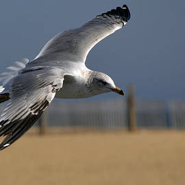 Seagull Cleared for Beach Landing by Bill Swartwout Photography