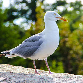 Seagull by Peggy Berger