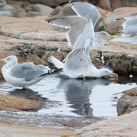 Seagull Swimming Pool - Acadia by Kirkodd Photography Of New England