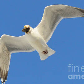 Seagull with Clam by Meandering Photography