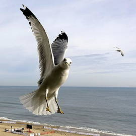 Inquisitive Seagull by Rick Rosenshein