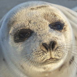 Amazing Jules - Seal Pup