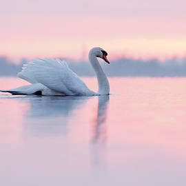 Serenity   Mute Swan at Sunset by Roeselien Raimond