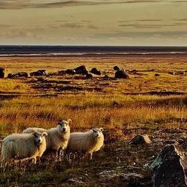 Sarah Pemberton - Sheep at Sundown