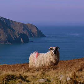 Sheep with a view by Barbara Walsh