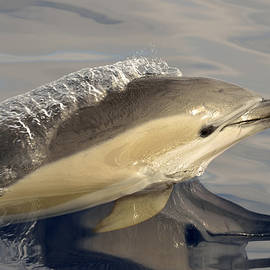 Short-beaked Common Dolphin Azores by Malcolm Schuyl