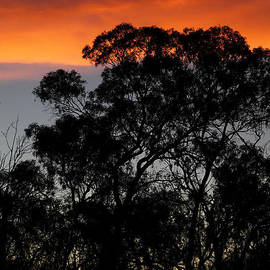 Carole-Anne Fooks - Silhouetted Trees at Sunset