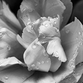 Jennie Marie Schell - Silver Ruffled Parrot Tulip Flower