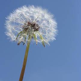 Single Dandelion by Rachel Duchesne