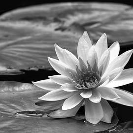 Dawn Currie - Single Water Lily Blossom