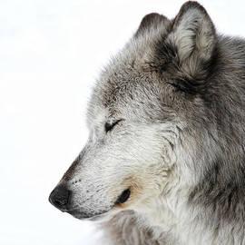Athena Mckinzie - Sleeping Winter Wolf