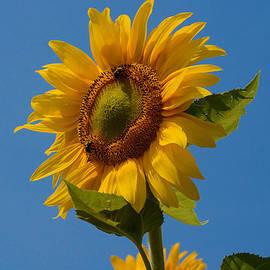 Smiling Sunflower by Nancy De Flon